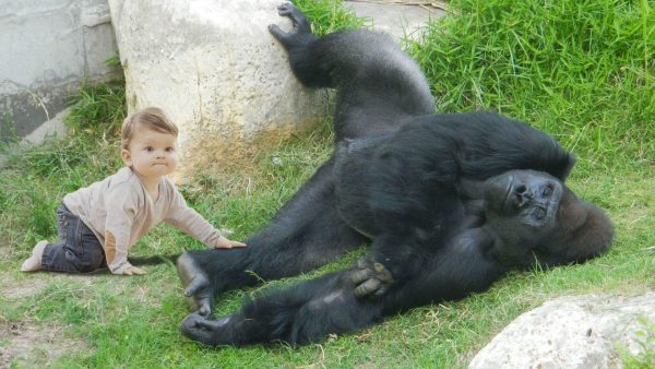 Gorilla Falls Out of Own Enclosure, Forcing Zoo Staff to Shoot Toddler